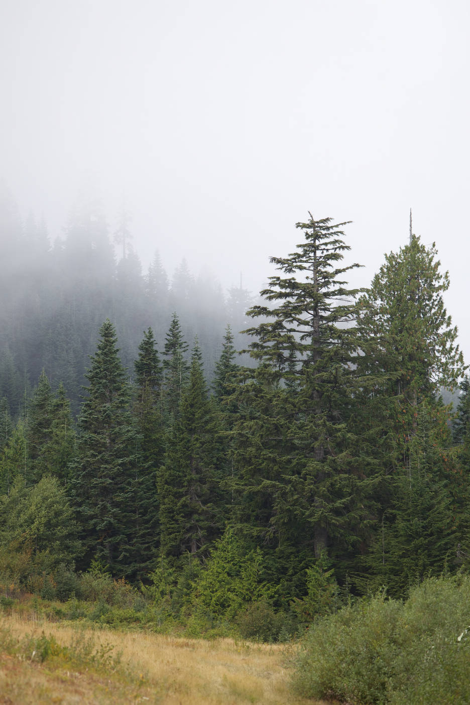 Foggy evergreen forest