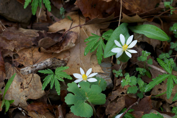 Bloodroot flowers and brown leaves