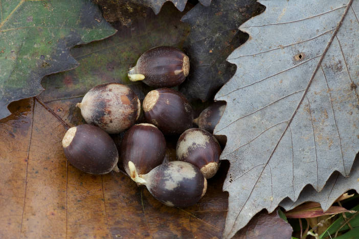Chinkapin oak acorns and leaves