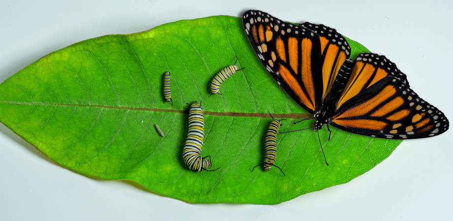 Stages of Monarch butterfly development