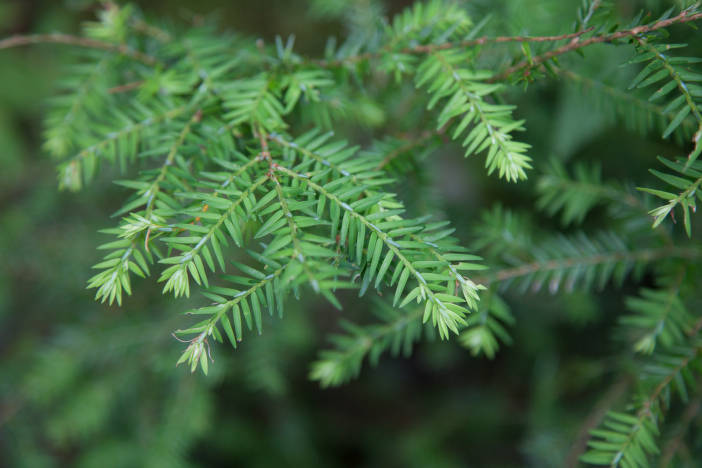 Needles of an Eastern Hemlock