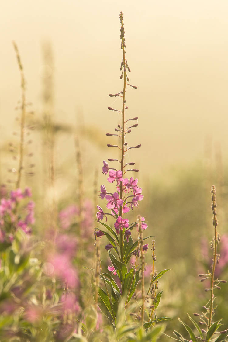 Fireweed with pink blossoms
