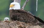 NCTC eagle cam update - April 6, 2009