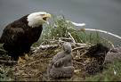 NCTC eagle cam update - April 21, 2009