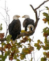 Speaking with Joe Witt about bald eagles