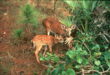 Human-Wildlife Interactions: Coexisting with Key Deer