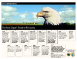 Bald eagle's road to recovery