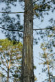 Medium shot of the Red Cockaded woodpecker, (Endangered species), nest box site.
