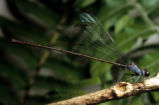 Flying Earwig Hawaiian Damselfly
