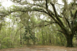 Spanish moss in maritime forest.
