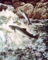 Atlantic salmon swimming upstream