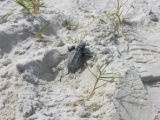 Beautiful Kemp's Ridley hatchling sea turtle, (Endangered species)..