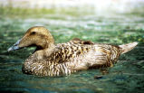 Pacific common eider hen