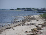 Shorebirds on the Delaware Bay