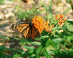 Monarch on Butterflyweed