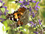 American Painted Lady on Blue Lobelia