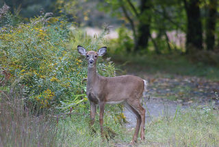 White-Tailed Deer Yearling