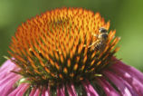 Honey Bee on Purple Cornflower