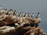 Atlantic Puffins and a Razorbill