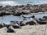Group of Gray Seals at Monomoy National Wildlife Refuge