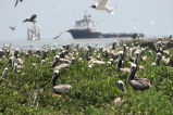 Nesting pelicans on Breton Island National Wildlife Refuge