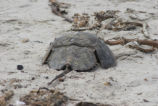 Horseshoe Crab in Sand