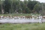 Egrets in Marsh