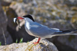 Tern with fish in beak