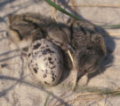 American Oystercatcher Chicks