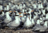 Colony of terns