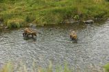 Two Brown Bear Cubs in River