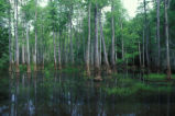 Scenic view of cypress swamp bottomland