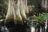 Swamp in Okefenokee National Wildlife Refuge