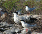 Caribbean roseate and sandwich terns