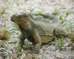 Mona Ground Iguana