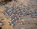 Caribbean roseate terns on nesting grounds