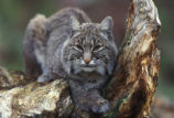 Bobcat sitting in tree