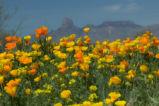 Mexican poppies and mountains