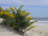 Goldenrod on Hampton Beach