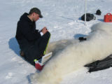 Polar bear biologist labels blood samples