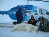 Biologists with polar bear during the Arctic Fall