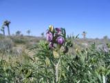 Lane Mountain milk-vetch