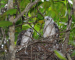 Puerto Rican juvenile sharp-shinned hawks