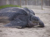 Close up of Leatherback turtle