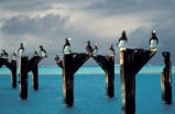 Brown boobies atop pier posts at Johnston Atoll National Wildlife Refuge