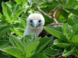 Red-footed booby at Palmyra Atoll NWR