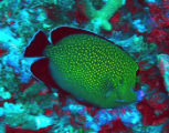 Golden-spotted angelfish at Baker island National Wildlife Refuge