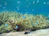 Chromis reef fish and staghorn coral at Palmyra Atoll National Wildlife Refuge