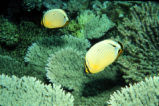 Butterflyfish at Johnston Atoll National Wildlife Refuge