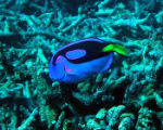 Pacific blue tang at Baker Island National Wildlife Refuge